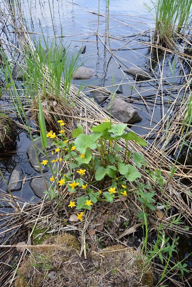 Finsko, jezero, rostliny