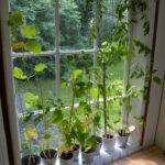 Veranda, zelenina