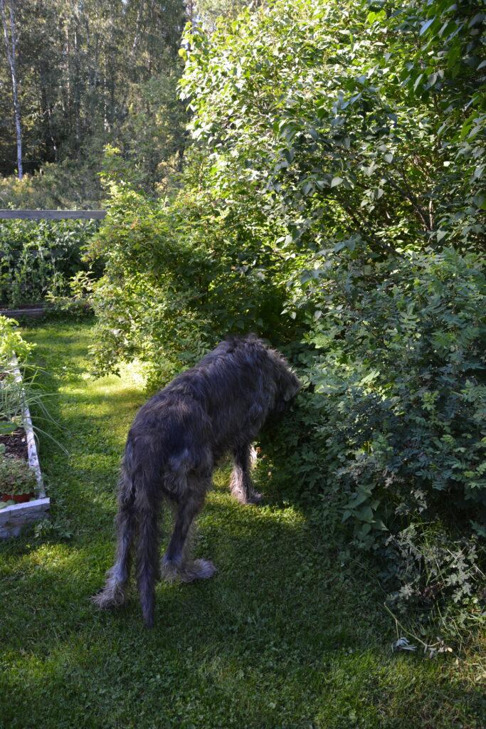 Vlkodav, irský vlkodav, zahrada