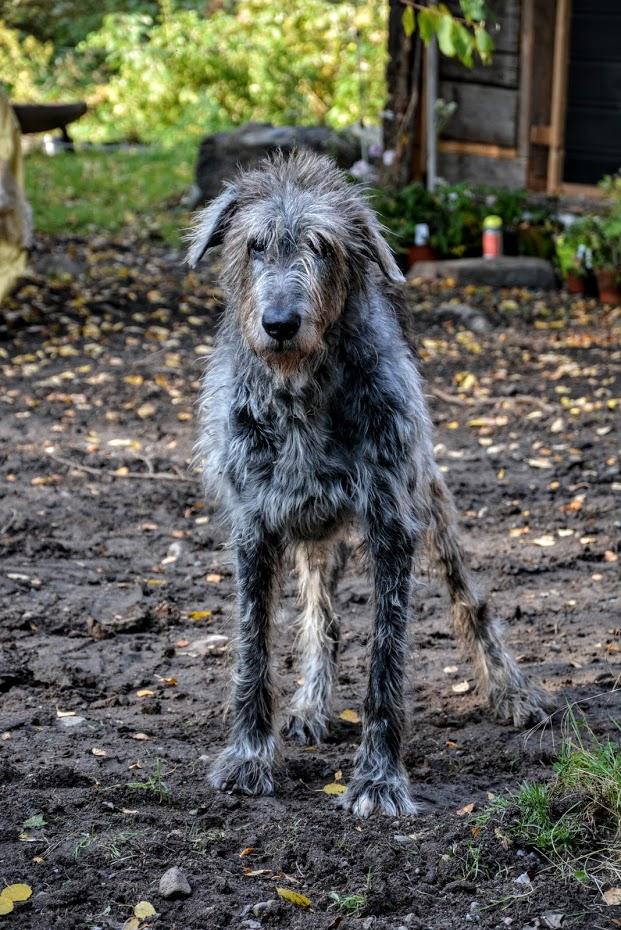 Linus, irský vlkodav