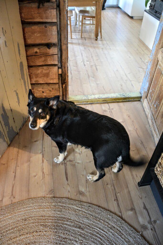 Laponský sobí pes